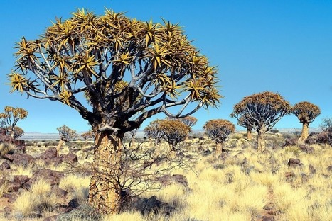 Quiver Tree Forest, Namibia | Gaia Diary | Scoop.it