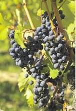 Pékin pourrait s'en prendre au vin européen   développement durable : quel avenir voulons-nous ?   Scoop.it