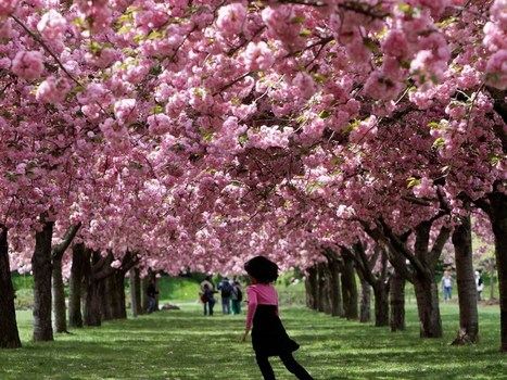 In bloom: Cherry blossom festivals | Travel | Scoop.it