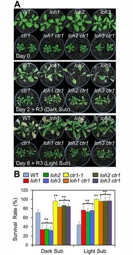 Unsaturation of Very-Long-Chain Ceramides Protects Plant from Hypoxia-Induced Damages by Modulating Ethylene Signaling in  Arabidopsis | Plant Genomics | Scoop.it