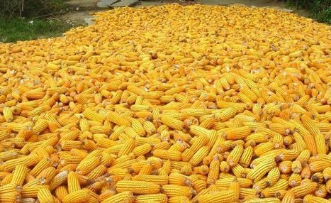 Ukraine. Corn condition — BlackSeaGrain   Grain du Coteau : News ( corn maize ethanol DDG soybean soymeal wheat livestock beef pigs canadian dollar)   Scoop.it