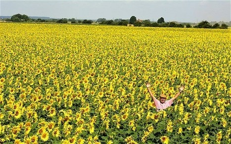 Sea of sunflowers at Lincolnshire farm - Telegraph | Sunflowers | Scoop.it