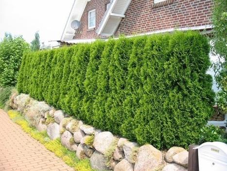 Best Hedging Plants for Homes and Gardens   Scotplants Direct   General Information & Digital Marketing   Scoop.it