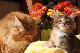 Come prendersi cura del gatto Maine Coon | AmicoMaineCoon.it | Scoop.it