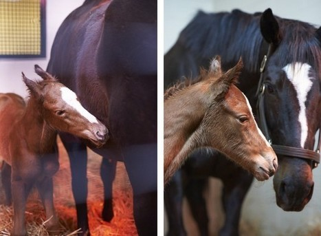 Zenyatta: Photos From The Foaling | The Jurga Report: Horse Health, Welfare, and Care | Scoop.it
