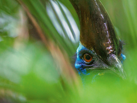 Cassowaries | Science, Technology, and Current Futurism | Scoop.it
