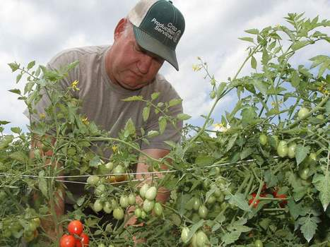 Drought spurs demand for mountain vegetables | BlueRidgeNow.com | Research from the NC Agricultural Research Service | Scoop.it
