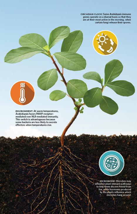 Plant Immunity | The Scientist Magazine® | plant immunity | Scoop.it