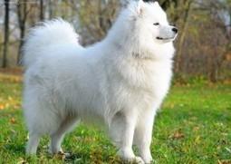 Top 10 Most Expensive Dog Breeds | Top 10 Lists | Scoop.it