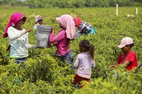 Un 49.9 por ciento de las familias jornaleras con trabajo infantil son indígenas: UNICEF | Esclavitud infantil | Scoop.it