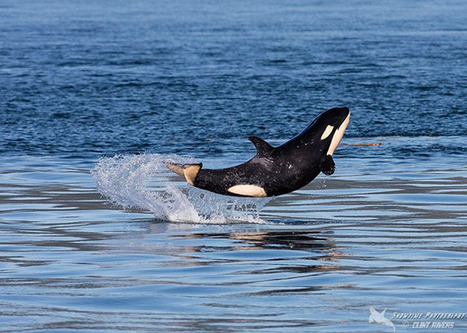 Photos of a Happy Baby Orca Leaping Out of the Sea | What about? What's up? Qué pasa? | Scoop.it