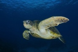Featured Video: Saving Sea Turtles in Mexico's Magdalena Bay - The Future Of Sea Turtles | OUR OCEANS NEED US | Scoop.it