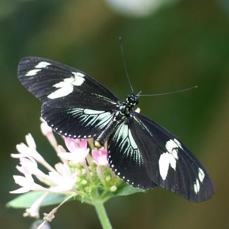 Photo de Nymphalidae : Laparus doris - Heliconius doris - Doris Longwing | Fauna Free Pics - Public Domain - Photos gratuites d'animaux | Scoop.it