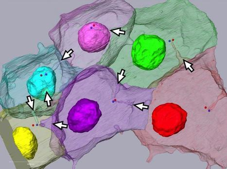 Discovery of a unique subcellular structure determining the orientation of cell division | Fragments of Science | Scoop.it