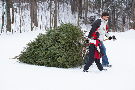 Christmas tree growers, judges to convene in Allegan to select White House Christmas Tree | Christmas Trees and More | Scoop.it