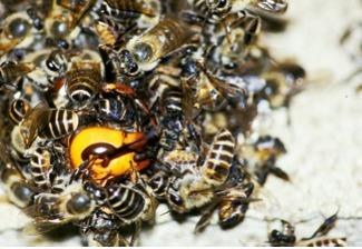 Brains of killer honeybees investigated | Amazing Science | Scoop.it