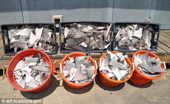 RTSea Blog: keeping an eye on Nature: Illegal Shark Fins: officials arrest fishermen and not where you might expect | All about water, the oceans, environmental issues | Scoop.it