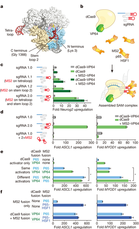 Genome-scale transcriptional activation by an engineered CRISPR-Cas9 complex   Awesome Science That  I Like   Scoop.it