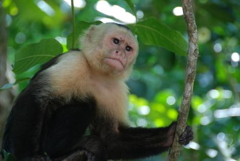 Monkeys Use Mosquito Repellent, Too | Rainforest EXPLORER:  News & Notes | Scoop.it