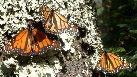 El cambio climático modifica la sincronía entre flores y mariposas   Biblioteca Verde   Scoop.it