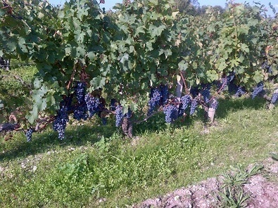 2013 Harvest in Bordeaux | Christian Seely's Blog | Southern California Wine and Craft Spirits Journal | Scoop.it