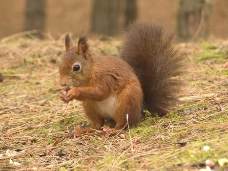 Red squirrels are back in Troutbeck   Windermere And Bowness   Scoop.it