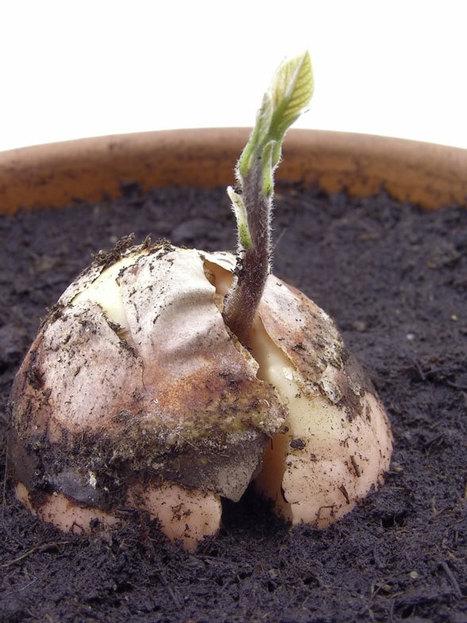 Guac 'n' Roll: Grow an Avocado Tree | Flores y plantas | Scoop.it
