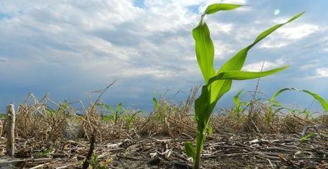 Argentina: La superficie de maiz rondaría las 3.300.000 hectáreas | Maíz | Scoop.it