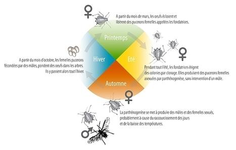INRA - Les araignées, nouvelle arme anti-pucerons des pommiers ? | EntomoNews | Scoop.it