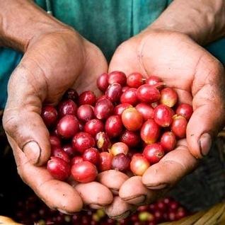 Cung cấp cà phê sạch ở TP.HCM: Tìm hiểu sự khác nhau giữa các hạt cà phê trên thế giới   caphesachotphcm   Scoop.it