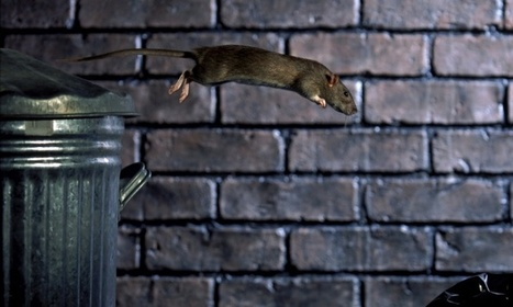 Rats may be disgusting, but it's people who have made the world they thrive in | Steven Belmain | GeoHealth | Scoop.it