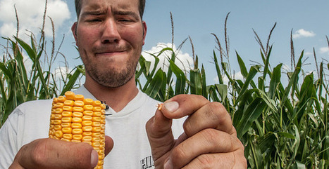 GMO Corn and Soy May Damage Vital Organs, Study Finds   Natural Wellness & Health   Scoop.it