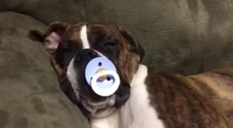 Découvrez Luke, le chien qui se prend pour un bébé: séquence trop mignonne (Photo et vidéo)   CaniCatNews-actualité   Scoop.it