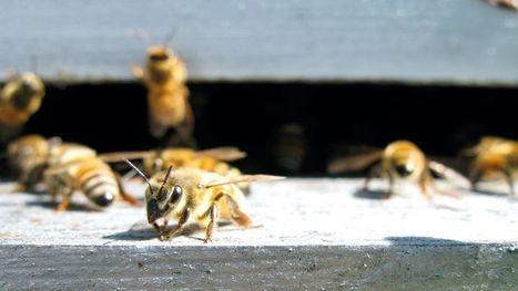 Des abeilles jouent le rôle de démineurs   Les nouvelles de Shaneelah   Scoop.it