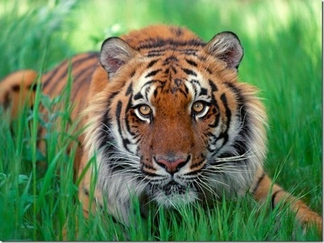 Tigre de la India bajo la amenaza del Carbón | Conciencia Eco | Agua | Scoop.it