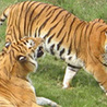 Year 7 Science: Endangered Species – Tigers across Asia