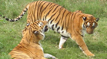 Tigers in Crisis – Information About Earth's Endangered Tigers and the Efforts to Save Them   Year 7 Science: Endangered Species – Tigers across Asia   Scoop.it