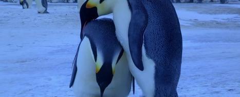 Watch: Remarkable footage of emperor penguins 'mourning' dead chick | Antarctica | Scoop.it