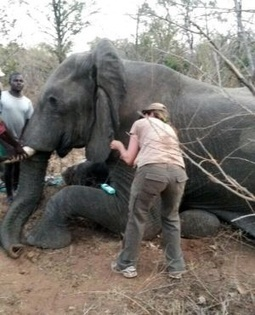 Elephant freed from snare after 2 years - Africa Geographic | Wildlife Trafficking: Who Does it? Allows it? | Scoop.it