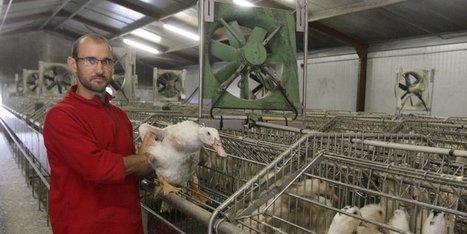Gavage : les cages individuelles bientôt supprimées - Sud Ouest | Le Fil @gricole | Scoop.it
