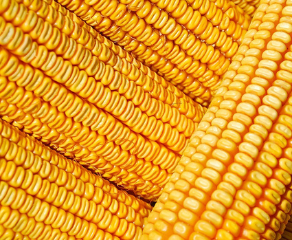 Argentina Faces Shortages of Corn, Wheat | FoodService | Scoop.it