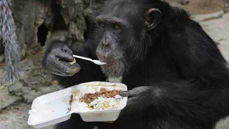 A Chimp's hands have evolved significantly than humans, says study - Inferse | University of Kent in the News | Scoop.it
