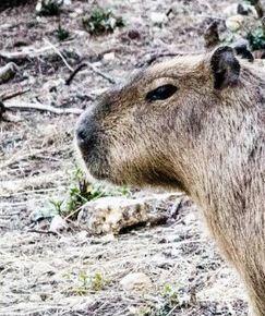 Enriquecimiento ambiental para capibaras. Vídeo para hacer comederos. | Enriquecimiento ambiental en animales en cautividad y mascotas. | Scoop.it