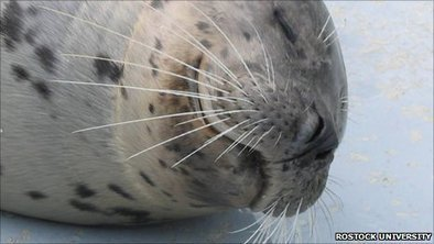 BBC - Earth News - Seal whiskers sense fattest fish | All about water, the oceans, environmental issues | Scoop.it
