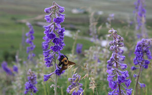 nsf.gov - National Science Foundation (NSF) News - Bee Faithful? Plant-Pollinator Relationships Compromised When Bee Species Decline - US National Science Foundation (NSF) | phytopharmaceuticals, pollinators, biodiversity | Scoop.it