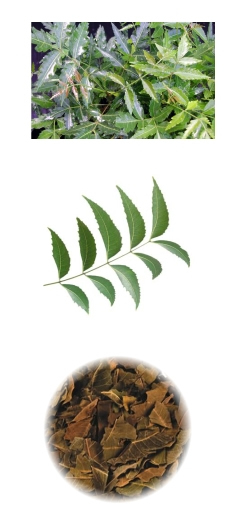 Neem: Immunological Non-Toxic potential againstCancer | Herbs & Spices | Scoop.it