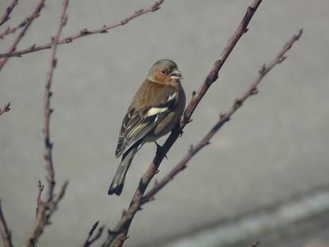 Photo d'oiseau : Pinson des arbres - Fringilla coelebs - Chaffinch | Fauna Free Pics - Public Domain - Photos gratuites d'animaux | Scoop.it