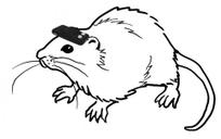 Le sixième sens artificiel du rat aveugle   C@fé des Sciences   Scoop.it