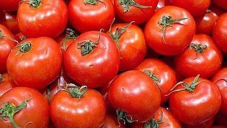 Zambie : la tuta absoluta pourrait faire exploser les prix de la tomate   Agriculture et Développement   Scoop.it