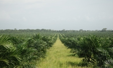 Palm oil firms in Peru plan to clear 23,000 hectares of primary forest | MOVUS  Movement for a Sustainable Uruguay | Scoop.it